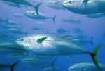 tuna fish final 2014-01-23_1109