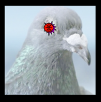 pigeaon featured 2014-02-03_1152